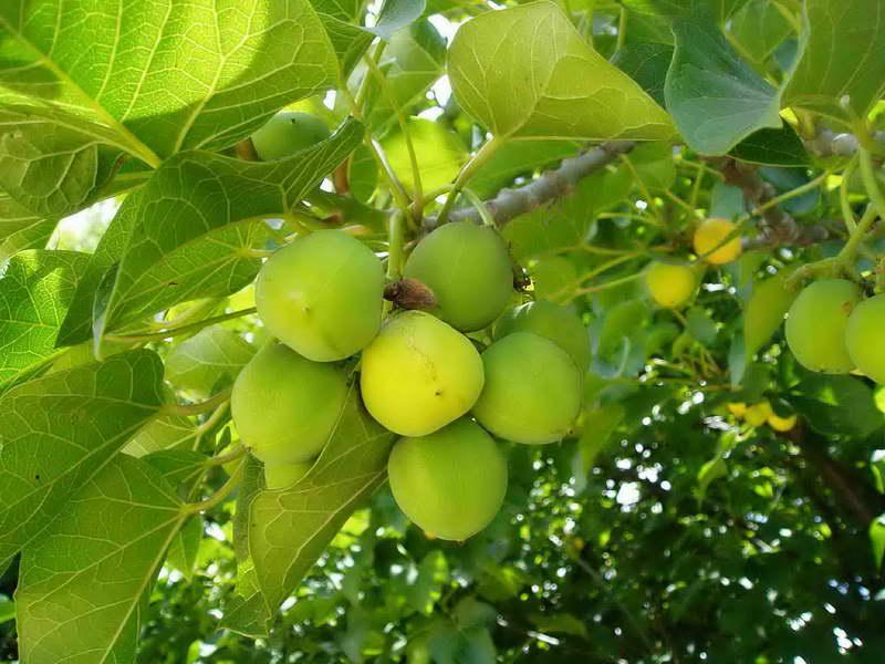 Ятрофа куркас или барбадосский орех Jatropha curcas фото
