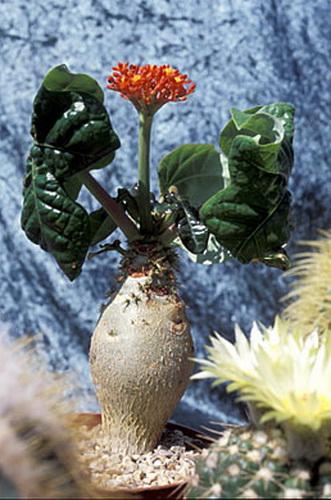 Ятрофа подагрическая Jatropha podagrica
