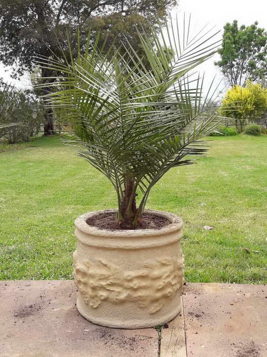 Юбея чилийская слоновая пальма как ухаживать
