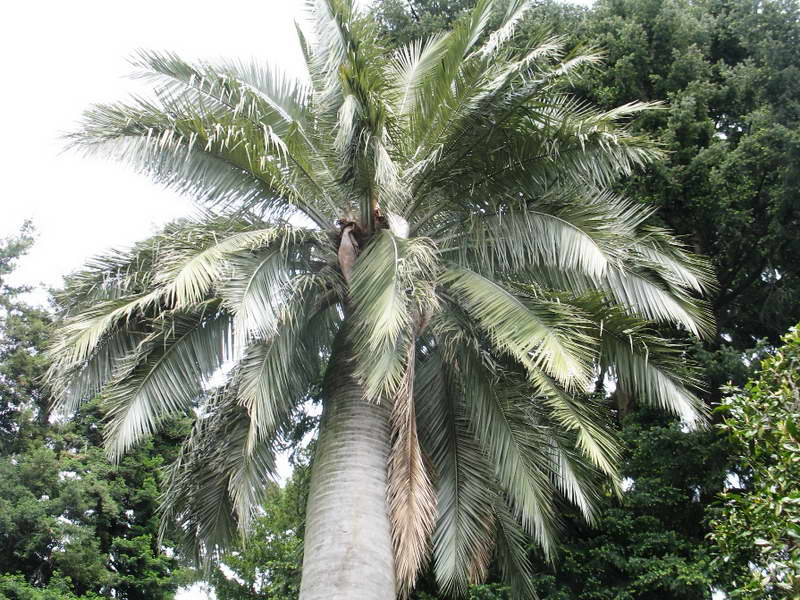 Юбея чилийская слоновая пальма в природе фото