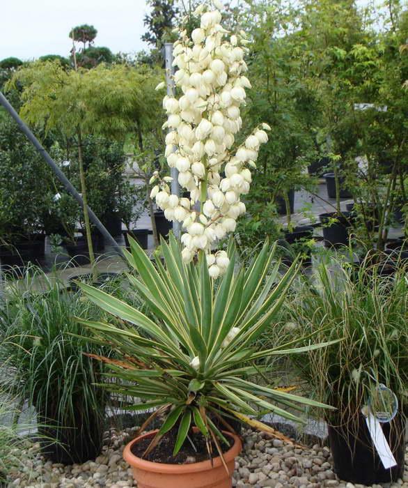 Юкка нитчатая Yucca filamentosa фото