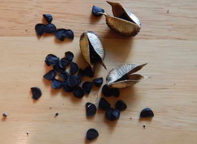 Юкка семена фото