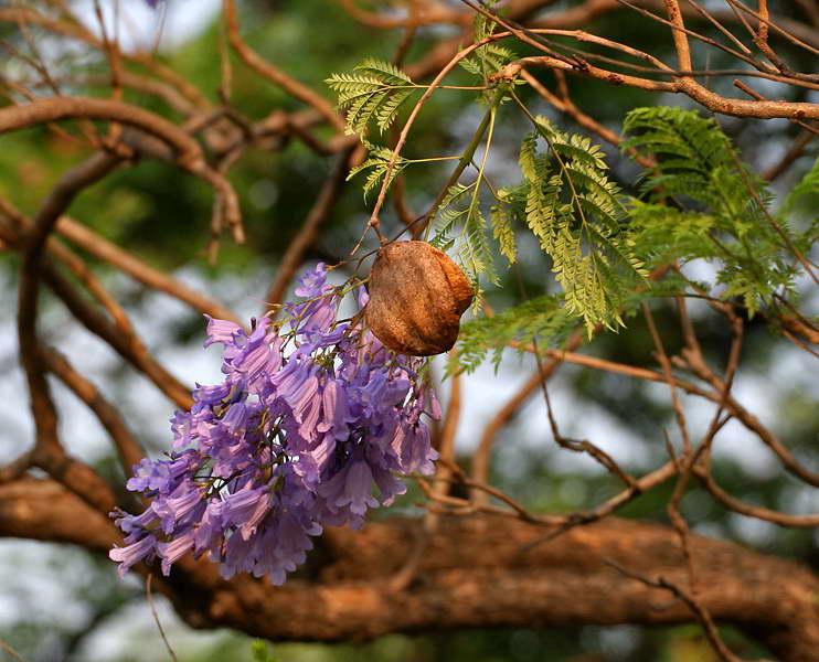 Жакаранда дерево дарящее красоту и приносящее удачу фото