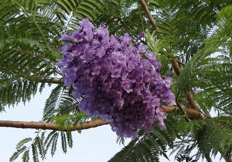 Жакаранда мимозолистная Jacaranda mimosifolia или жакаранда овальнолистная Jacaranda ovalifolia фото