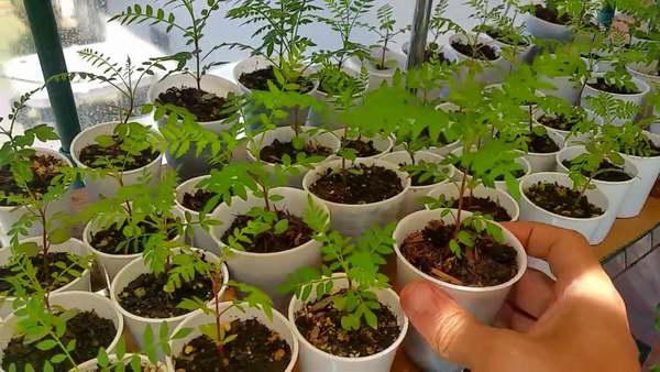 Жакаранда выращивание из семян в домашних условиях фото