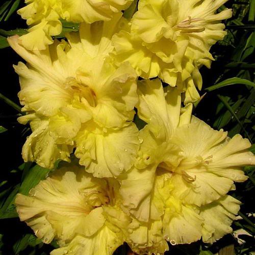Желтый гладиолус Золотая десятка фото цветов в саду