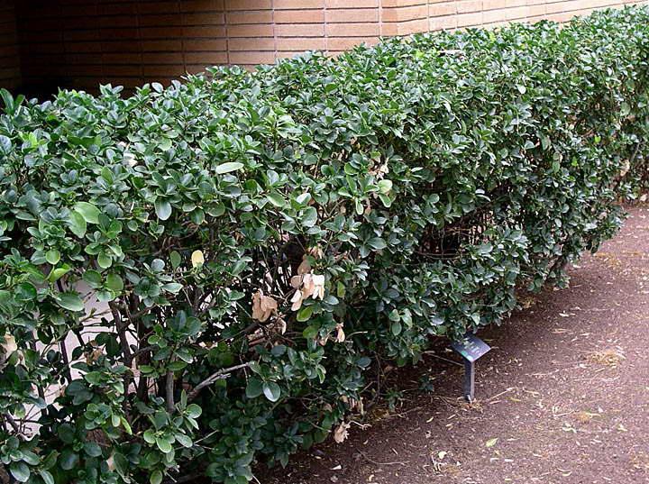Живая изгородь из бересклета японского фото