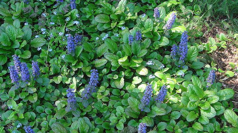 Живучка аюга фото цветов