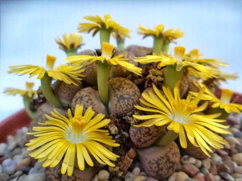 Живые камни литопсы как ухаживать за суккулентами в домашних условиях Размножение семенами Фото цветов