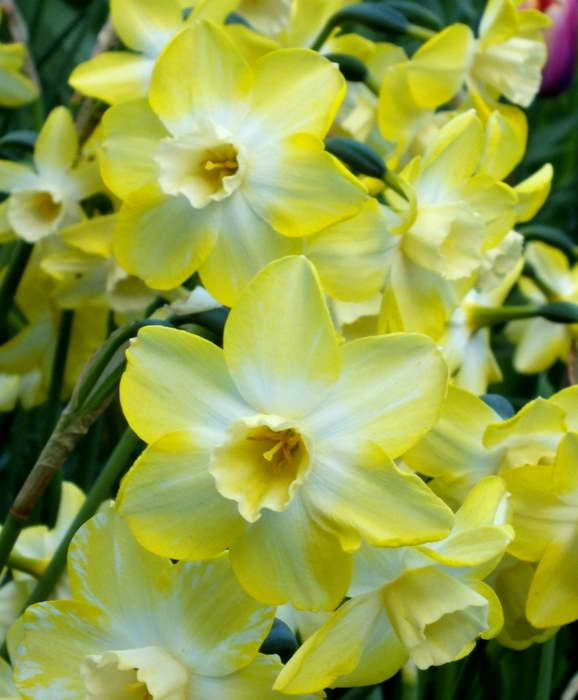 Жонкилиевый нарцисс сорт Narcissus Pipit фото