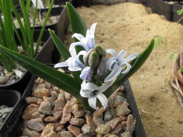 Закаспийский гиацинт Hyacinthus transcaspicus дома в горшке уход во время и после цветения фото