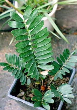 Замия Карликовая Zamia pygmaea фото