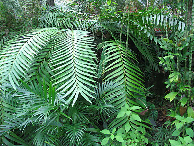Замия Ложнопаразитическая Zamia pseudoparasitica фото