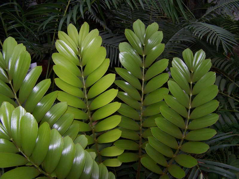 Замия Широколистная Zamia latifolia фото