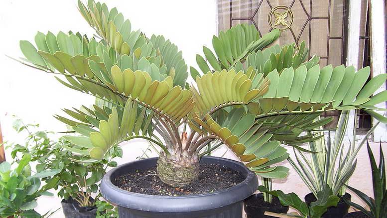 Замиокулькас замиелистный  долларовое дерево Комнатные