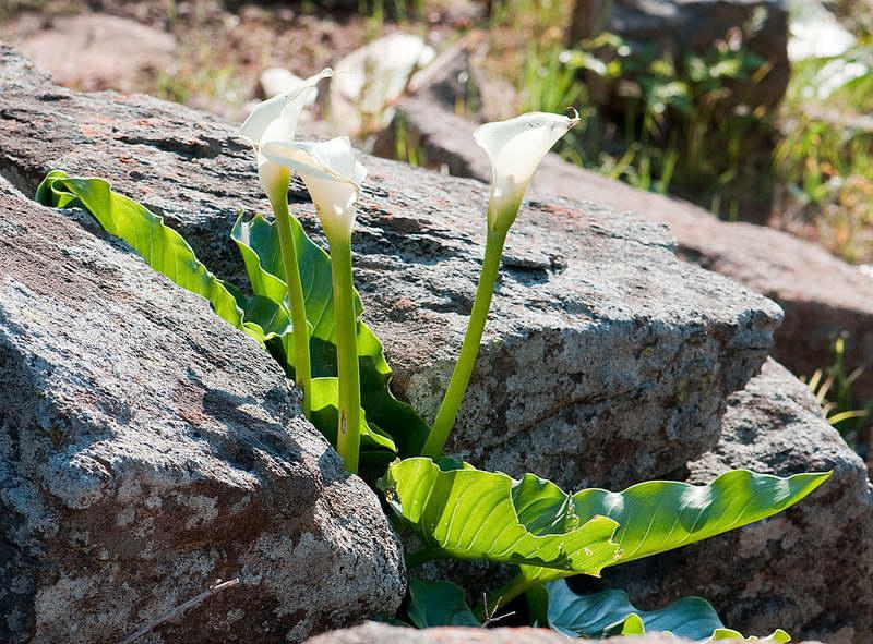 Калла эфиопская пахучая Zantedeschia odorata фото