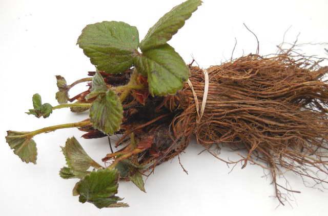 Здоровая рассада клубники с открытой корневой системой фото