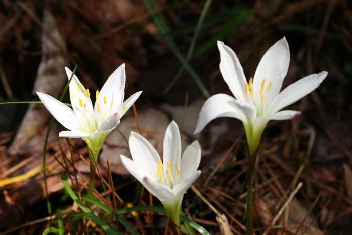 Зефирантес атамасский Zephyranthes atamasca фото