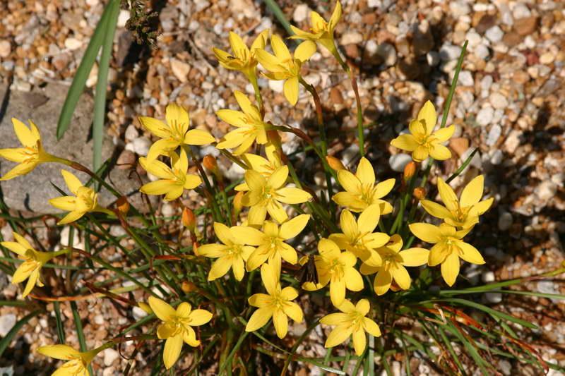 Зефирантес лимонный Zephyranthes citrina фото