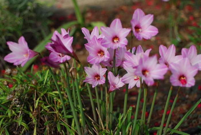 Зефирантес мощный Zephyranthes robusta фото
