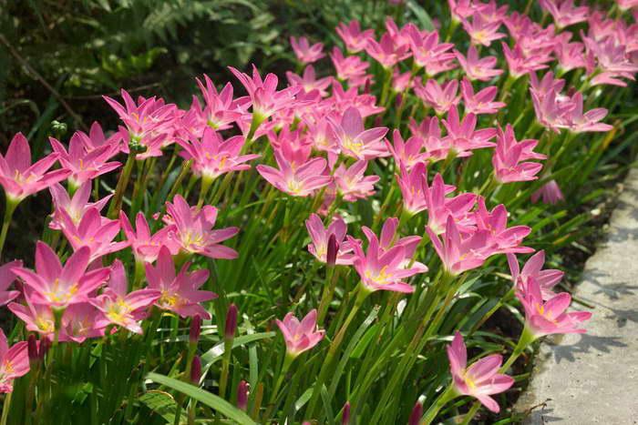 Зефирантес розовый, пинк или Линдлея Zephyranthes rosea фото