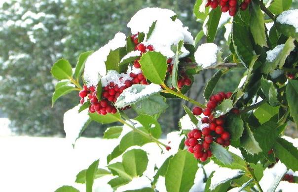 Зимой вечнозеленый падуб становится роскошным украшением сада