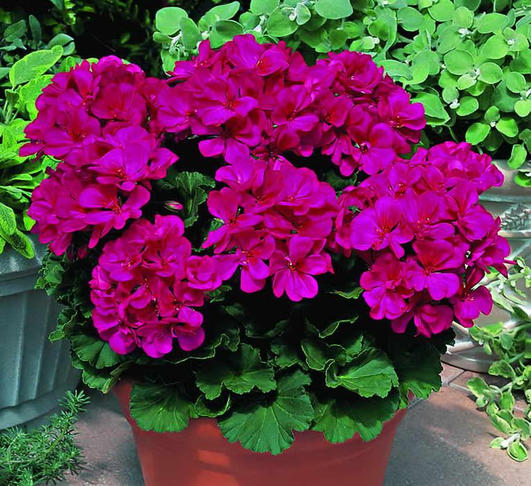 Зональные пеларгонии Zonal pelargoniums фото цветов выращивание и уход в домашних условиях