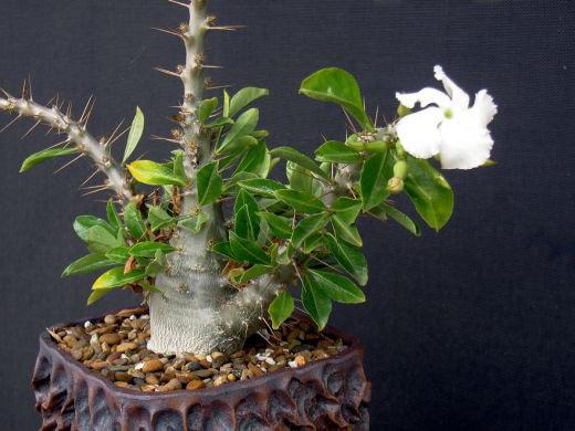 Звезда Лунди или Пахиподиум Сондерса Pachypodium saundersii