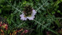 акант растение