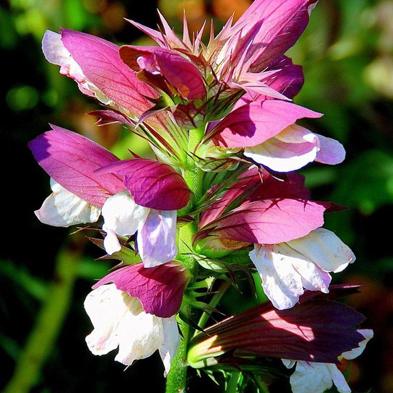 акант цветок