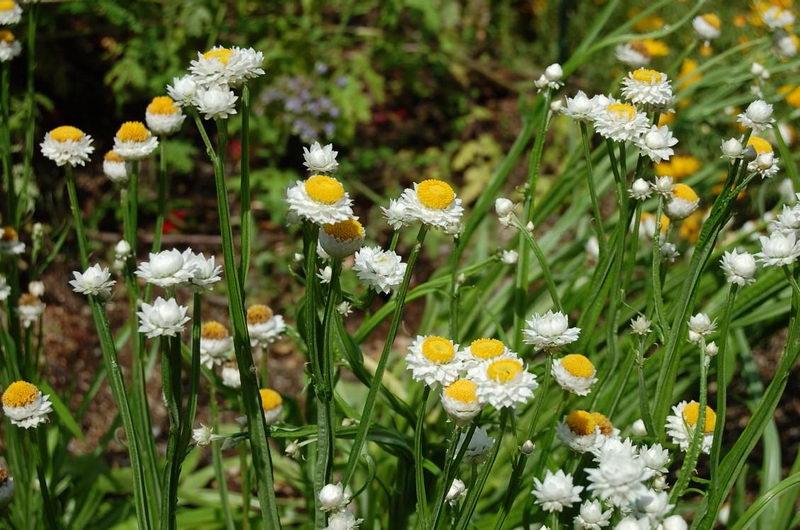 аммобиум крылатый травянистые растения для открытого грунта
