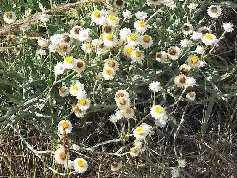 аммобиум выращивание из семян