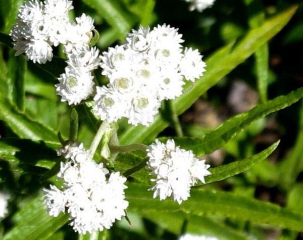 анафалис жемчужный травянистые растения для открытого грунта