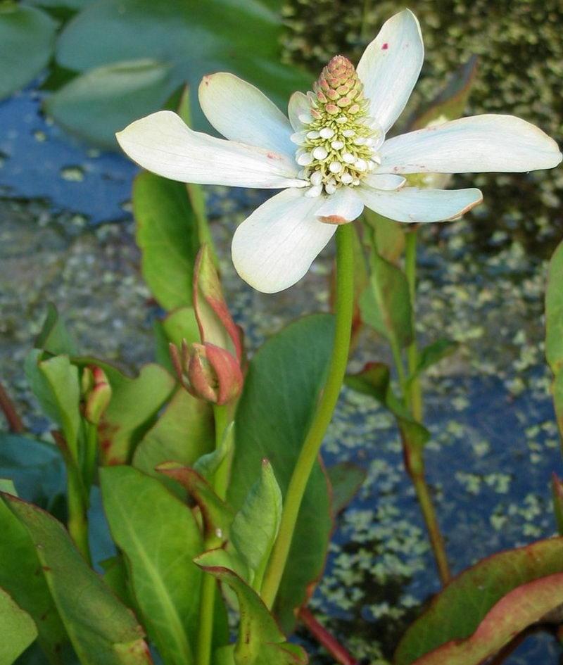 анемопсис растения для водоемов