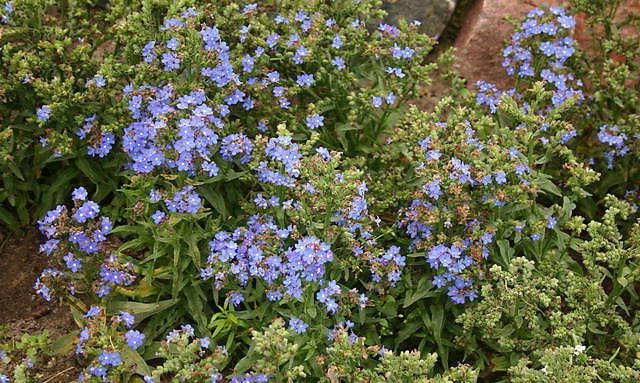 Анхуза лекарственная травянистые растения для открытого грунта