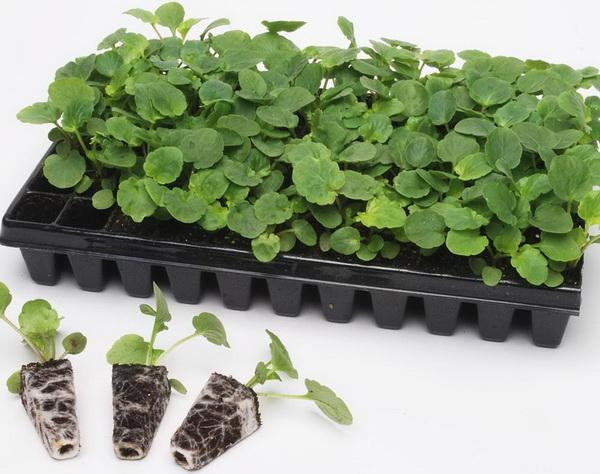 Антирринум твинни махровый выращивание из семян фото