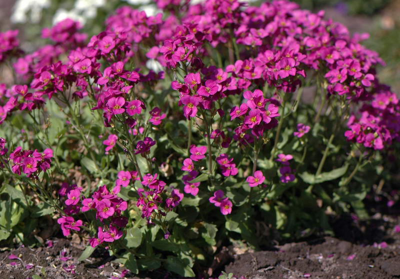 Кавказский арабис фото цветов Arabis caucasica Blepharophylla