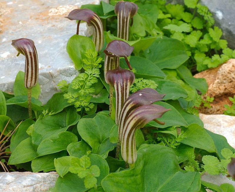 аризарум травянистые растения для открытого грунта
