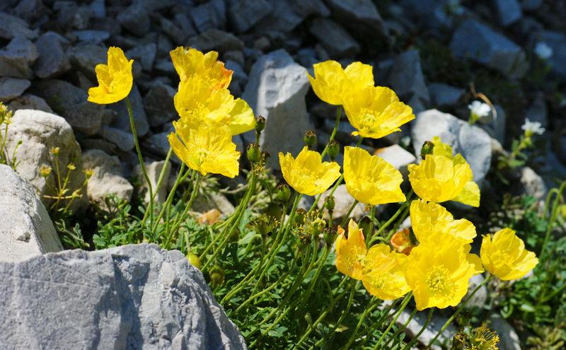 арктический мак травянистые растения для открытого грунта