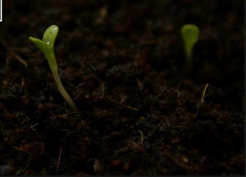 арктотис гибридный арлекин выращивание из семян