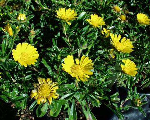 астерискус приморский травянистые растения для открытого грунта Asteriscus maritimus