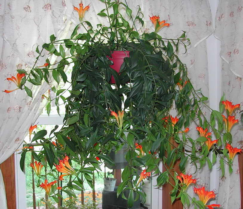 Эсхинантус красивый уход в домашних условиях фото
