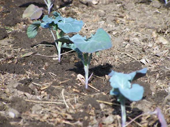 капуста брюссельская фото выращивание