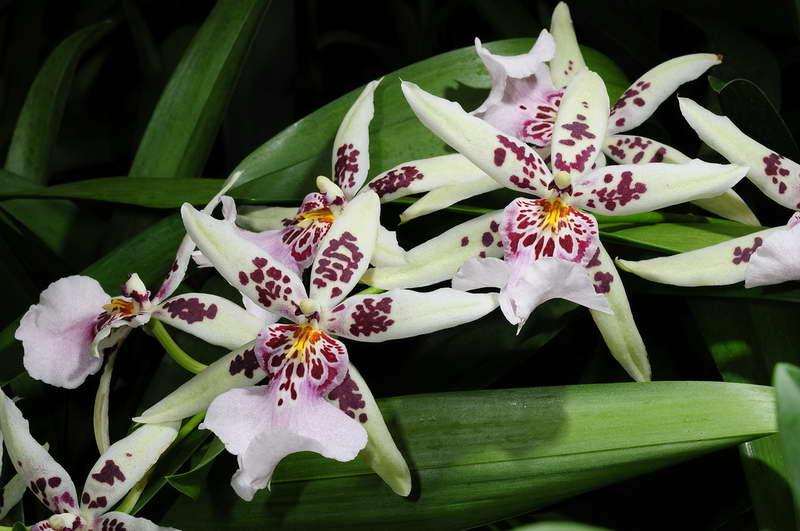 Орхидея Камбрия Дегармоара фото