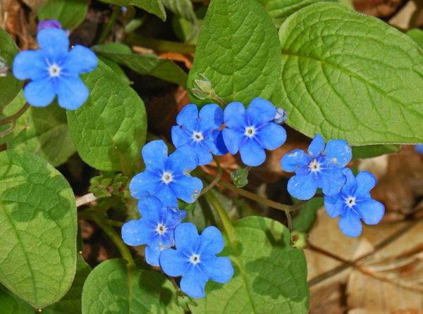 Пупочник весенний фото omphalodes verna