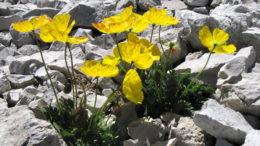 растение полярный мак картинки