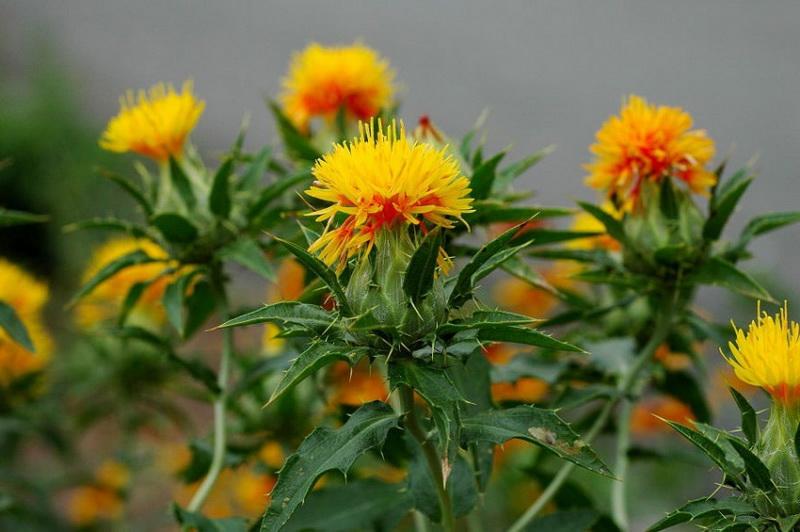 сафлора растение применение