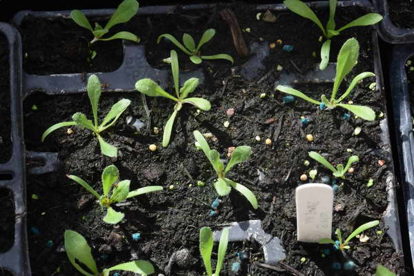 Сажаем статицу семенами на рассаду фото всходов кермек