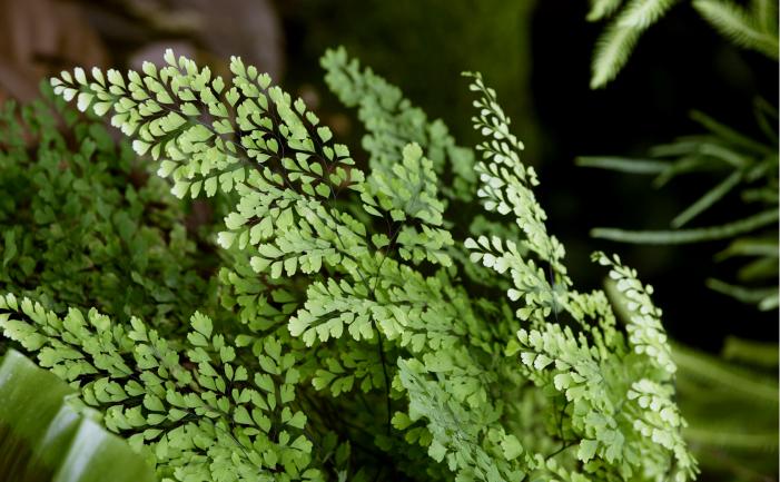 цветок адиантум фото и описание