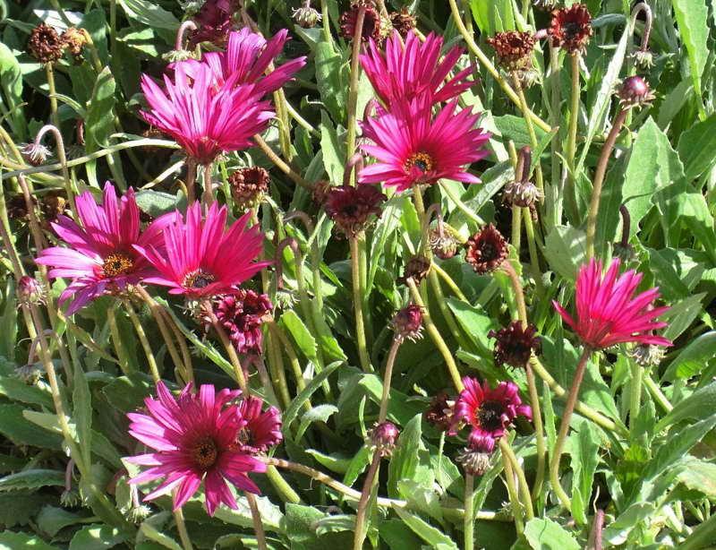 цветок арктотис фото выращивание